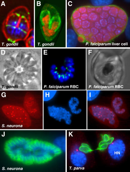 The Diversity of Intracellular Development in Apicomplexans(A) In T. gondii, two daughters are formed during budding. IMC1, red; MORN1, green (reproduced with permission from [32]).(B) T. gondii. Histone H2, red; IMC3, green (reproduced from [71]).(C) In Plasmodium falciparum liver schizont, budding results in massive numbers of zoites. Image courtesy of Volker Heussler.(D) T. gondii, phase contrast image of parasitophorous vacuole harboring multiple tachyzoites.(E and F) P. falciparum late erythrocyte schizont. Acyl carrier protein (plastid), green. RBC, red blood cell.(G–I) Sarcocystis neurona. Two intracellular stages with polyploid nuclei, one in interphase and one during mitosis. Tubulin, red.(J) S. neurona budding. IMC3, green.(K) A Theileria schizont divides in association with its host cell. Polymorphic immunodominant molecule (parasite surface), green; γ-tubulin (host centrosomes), red. HN, host nucleus. Image courtesy of Dirk Dobbelaere. The DNA dye DAPI is shown in blue throughout. Not to scale.