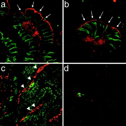 Apical membrane localization of APC in normal mouse colon. Immunolocalization of APC (red) and β-catenin (green) in tissue sections of normal mouse colon. (a and b) Apical membrane staining of epithelial cells in the upper portion of colonic crypts which face the lumen of the digestive tract in normal mouse colon (arrows). (c) Low APC immunoreactivity in epithelial cells towards the base of the crypts. Additional APC staining in nonepithelial cells in the lamina propria (arrowheads) and throughout the submucosa and muscularis layers. (d) APC staining is effectively blocked with the specific neutralizing peptide against which the antibody was raised. There is no β-catenin staining, because normal mouse IgG was substituted for β-catenin primary antibody in control sections. Note residual immunoreactivity of secondary anti–mouse IgG antibody with cells in the lamina propria (green).