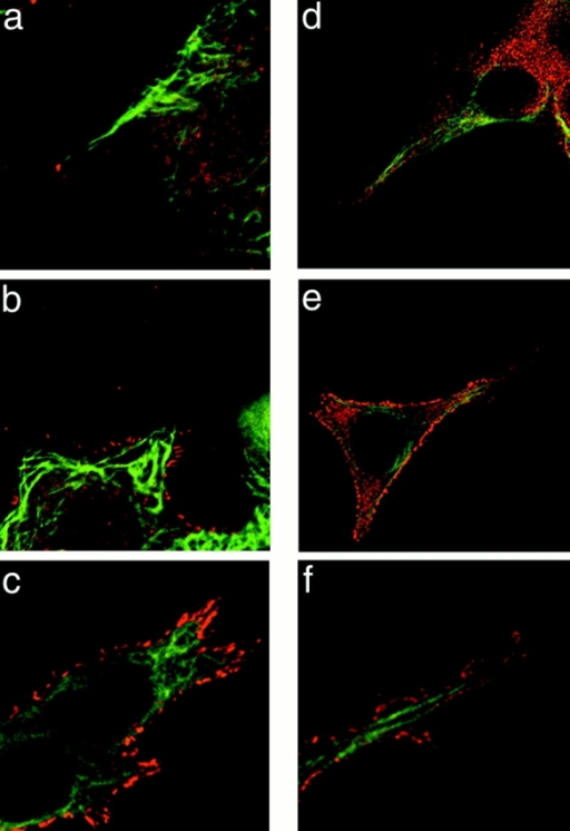 Localization of APC and microtubules in subconfluent epithelial cells. Immunolocalization of APC (red) and β-tubulin (green) in subconfluent HCT116 (a–c) and MDCK cells (d–e). (a) Localization of APC at the tips of cell processes containing microtubules is detected, albeit infrequently (<5% of all microtubule-containing protrusions). (b–f) APC is present over much of the cell surface and enriched all along the edges of the cell body and cell protrusions. (f) Higher magnification view of e.