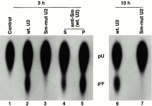 Binding of Sm proteins is required for U2 internal modification. [α32P]UTP uniformly labeled wild-type (lanes 2, 4, 5, and 6) or Sm-mutant U2 (lanes 3 and 7; see Fig. 1) was injected into isolated nuclei under oil. After 5 h (lanes 1–5) or 10 h (lanes 6 and 7) at room temperature, RNAs were recovered by phenol-chloroform-isoamylalcohol extraction and ethanol precipitation and subjected to the pseudouridylation assay (lanes 1–3, 6, and 7). For the wild-type U2, ∼40% (lane 2, 5 h) or 50% (lane 6, 10 h) of the expected level of modification was observed. Alternatively, wild-type U2 was recovered by anti-Sm (Y-12 antibody) immunoprecipitation after 5 h at room temperature and then subjected to the pseudouridylation assay (lanes 4 and 5). More than 85% of the expected level of modification was observed in immunoprecipitated RNA (lane 5). S, supernatant; P, pellet. The control is an uninjected U2 RNA.