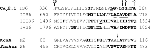 Pore-lining residues in S6. Amino acid sequence alignment of the four S6 segments in the Cav2.1 subunit and the M2/S6 segment of KcsA and Shaker K+ channels. Amino acid numbers are given on both sides. For Ca2+ channel S6 segments, the amino acid numbering defined in this study is shown on the top. Position 0 presumably represents the membrane/cytoplasm interface. Bold positions denote those that can be modified by internal MTSET. Underlined positions were studied in this work. For K+ channel M2/S6 segments, bold residues denote pore-lining positions defined either structurally or by MTS reagent accessibility. Arrow marks the M2/S6 bundle crossing.