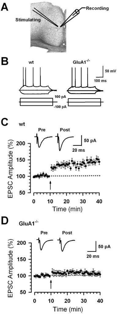 Abolishment of cingulate potentiation in GluA1-/- mice. (A) Diagram of a slice showing the placement of a whole-cell patch recording and a stimulation electrode in the ACC. (B) These traces showing typical voltage responses to current injections of -100, 0, and 100 pA in ACC neurons from WT and GluA1-/- mice. (C) LTP was induced in ACC pyramidal neurons in WT mice (n = 13 slices/6 mice). (D) LTP was lost in ACC pyramidal neurons in GluA1-/- mice (n = 8 slices/6 mice). (C-D) The insets show averages of five EPSCs at baseline responses and 30 min after the pairing procedure (arrow). The dashed line indicates the mean basal synaptic responses.