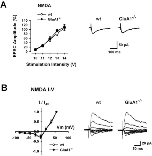 Intact NMDA receptor-mediated EPSCs in GluA1-/- mice. (A) Input-output relationships for NMDA receptor-mediated EPSCs in WT (n = 6) and GluA1-/- (n = 8) mice (left). Traces showing averages of five NMDA receptor-mediated EPSCs with input stimulation at 12 V (right). (B) I-V relationships of NMDA receptor-mediated EPSCs in WT (n = 8) and GluA1-/- (n = 8) mice (left). NMDA receptor-mediated EPSCs recorded at holding potentials from -85 mV to +55 mV in WT and GluA1-/- mice (right).