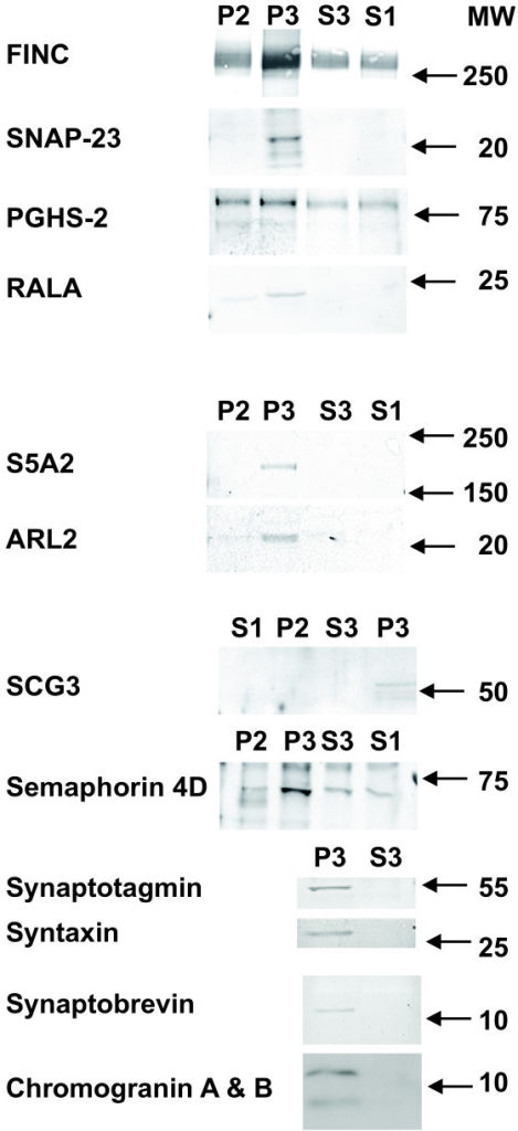 Western blots of P2, P3, S3, and S1 fractions based on antibodies against 13 different proteins. This blot composite is representative of four samples for the top seven images and of two samples for the remaining six proteins, all selected randomly from sample #s 4, 6-12, 14-16 (Table 1). Molecular weights from relevant standards are indicated on the right. For all 13 reactivities, the signal was enriched in P3 fractions. FINC: fibronectin, SNAP-23: synaptosomal-associated protein 23, PGHS-2: prostaglandin H synthase, RALA: ras-related protein Ral-A, S5A2: 3-oxo-5-alpha-steroid 4-dehydrogenase, ARL2: ADP-ribosylation factor-like protein 2, SCG3: secretogranin 3.