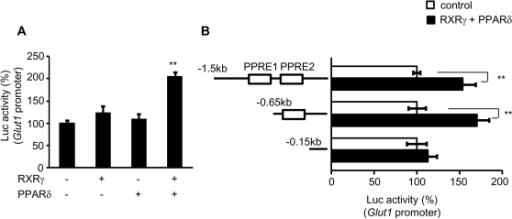 Transient transfection-reporter assay of the effect of RXRγ on                                Glut1 promoter.(A) Glut1-Luc plasmid, with or without                            RXRγ and/or PPARδ expression vectors, was transfected into the                            quadriceps muscle of C57BL6 mice. Activation of the luciferase reporter                            gene was measured in relative light units and normalized to dual                            luciferase activity. Mean values from experiments                            (n = 5) are shown as fold induction, where the                            activity in the absence of RXRγ is the reference value (set at 100).                                (B) Schematic representations of serial deletion of                                Glut1 promoter constructs are shown in the figure.                            Squares denote the putative PPAR/RXR binding sites. Open bars;                                Glut1-Luc without RXRγ and PPARδ expression                            vectors, and filled bars; Glut1-Luc with RXRγ and                            PPARδ expression vectors. The activity in the absence of RXRγ                            and PPARδ in each experiment for different                            Glut1-Luc construct in the reference value (set at                            100). ** P<0.01, compared with the value of                            wild-type promoter in the absence of RXRγ/PPARδ.