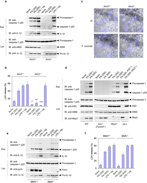 AIM2 is required for F. novicida–induced activation of the inflammasome. (a) Immunoblot analysis of mouse procaspase-1, caspase-1, IL-1β, AIM2 and/or pro-IL-1β in culture supernatants and lysates of mouse Aim2−/− and Aim2+/+ macrophages left untreated or infected for 6 h with F. novicida (FN; MOI in parentheses above lanes) or treated with LPS and nigericin as described in Figure 1b. (b) Release of LDH into culture supernatants of the macrophages in a. *P < 0.05, **P < 0.01 and ***P < 0.005, Aim2+/+ versus Aim2−/− (Student's t-test). (c) Confocal live-cell microsopy of Aim2−/− and Aim2+/+ BMDMs left uninfected (UI) or infected for 6 h with F. novicida; nuclei were stained with Hoechst stain (blue). Images are merged differential interference contrast and Hoechst channels. Original magnification, x40. (d) Immunoblot analysis of mouse procaspase-1, caspase-1, ASC, AIM2 and/or Nlrp3 in culture supernatants and lysates of mouse wild-type, ASC-deficient (Pycard−/−; called 'Asc−/−' here) and Nlrp3−/− macrophages infected with F. novicida for 6 h or for 24 h (far right; MOI in parentheses above lanes). (e) Immunoblot analysis of mouse procaspase-1, caspase-1, IL-1β, pyrin and/or pro-IL-1β in culture supernatants and lysates of mouse pyrin-deficient (Mefv−/−) and pyrin-sufficient (Mefv+/+) macrophages infected for 6 h with F. novicida (MOI in parentheses above lanes) or treated with LPS and nigericin as described in a. (f) Release of LDH into culture supernatants of the macrophages in e. Data are representative of at least three experiments (mean and s.d. in b,f).