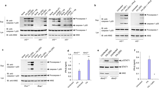 IRF3 signaling is required for activation of the AIM2 inflammasome by F. novicida but not by liposome-delivered DNA. (a,b) Immunoblot analysis of mouse procaspase-1, caspase-1 and/or AIM2 in culture supernatants and lysates of mouse Irf3−/− and Irf3+/+ macrophages infected for 6 h with F. novicida (MOI, in parentheses above lanes), treated with LPS and nigericin as described in Figure 1b, or transfected with poly(dA:dT) (a), or infected with F. novicida (MOI, 250) in the presence or absence of IFN-β (b). (c) Immunoblot analysis of mouse procaspase-1, caspase-1 and/or AIM2 in culture supernatants and lysates of Ifnar1−/− and Ifnar1+/+ macrophages left untreated or treated for 2 h with IFN-β alone or followed by infection for 6 h with F. novicida (MOI, in parentheses above lanes). (d) Enzyme-linked immunosorbent assay of IFN-β in culture supernatants of Aim2−/− and Aim2+/+ macrophages left uninfected or infected for 6 h with F. novicida (MOI, 250). *P < 0.05 and **P < 0.005 (Student's t-test). (e) Immunoblot analysis of mouse STAT1 phosphorylated at Tyr701 (p-STAT1), total STAT1 and AIM2 in lysates of mouse Aim2−/− and Aim2+/+ macrophages left uninfected or infected with F. novicida (MOI, 250). (f) Enzyme-linked immunosorbent assay of IFN-β in culture supernatants of Aim2+/+ macrophages left untreated or infected for 6 h with F. novicida (MOI, 250) in the presence (+ bafilo) or absence of bafilomycin (50 nM). *P < 0.01 (Student's t-test). Data are representative of two (a,c) or three (b,d–f) experiments (mean and s.d. in d,f).