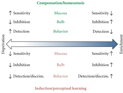 Diagram of the predicted effects of odor deprivation (left) and enrichment (right) according to the compensation/homeostasis hypothesis and induction/perceptual learning hypothesis on the olfactory mucosa, bulb, and behavior. Compensation makes no specific prediction about odor discrimination but this may necessarily be opposite to the predicted effects on detection based on bulbar neural circuits. Induction predicts greater detection under enrichment. Perceptual learning predicts greater discrimination under enrichment (see text for further explanation).