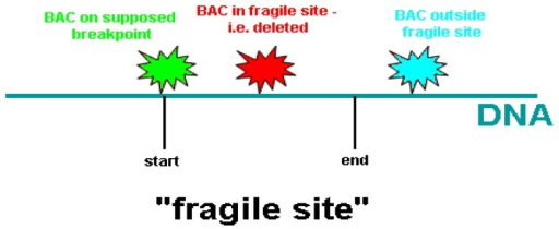 Different situations of FISH signals at a fragile site. The boundary of a fragile site was defined by FISH analysis probed with a series of labeled BAC clones. A fragile site consists of colocalized BAC DNA regions on supposed breakpoint and inside fragile site.