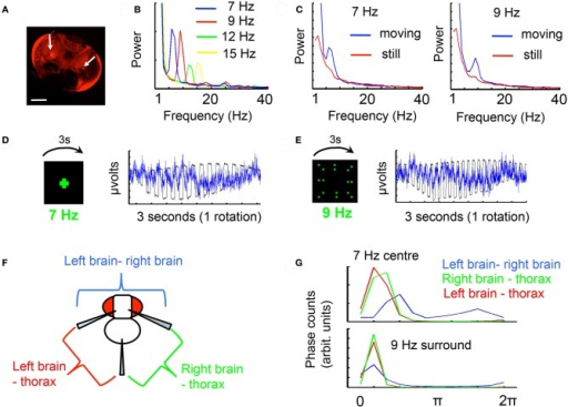 "The frequency tag. (A) Recording sites in the Drosophila brain (arrows). Texas Red dye was released from glass recording electrodes by iontophoresis, and the two recording sites determined by the region with greatest staining intensity, in the inner optic lobe. A differential recording was made between these sites. Inset scale bar = 100 μm. (B) A moving object (a cross moving 120°/s) flickering at different frequencies evokes distinct frequency responses in the recorded brain LFP, shown here for four different frequency tags. (C) A moving flickering object (a cross moving 120°/s) evokes a greater frequency response in the brain LFP than a static flickering object (positioned 45° to the left of the front of the fly) for either 7 or 9 Hz. (D) The LFP tag (blue trace) is time-locked to a cross flickering at 7 Hz (black trace). The response for a full rotation of the stimulus is shown. (E) The LFP tag (black trace) is time-locked to a field of dots flickering at 9 Hz (black trace). The response for a full rotation of the stimulus is shown. (F) Differential recordings to the thorax reveal the contribution from either optic lobe. (G) Coherence analysis (see ""Materials and Methods"") between each differential recording (from F) and the physical stimulus (as in D and E, recorded with a photodiode) reveals a distinct profile for the combined brain recording (blue), vs. each single optic lobe references to the thorax (red and green). Coherence to the signal is weaker for the within-brain differential, indicating a different quality response than for each individual optic lobe. Data in the paper are all voltage differentials within the brain (blue)."