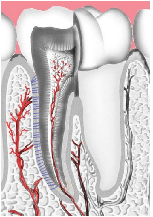 Vascularisation of the dental pulp and the alveolar bone. Blood vessels entering the tooth via the apical constriction.