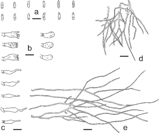 Microscopic structures of Datroniella subtropica. a. Basidiospores; b. basidia and basidioles; c. cystidioles; d. skeletal hyphae from trama; e. skeletal hyphae from context (all: holotype). — Scale bars: a–c = 10 μm; d, e = 20 μm.