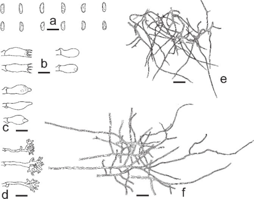 Microscopic structures of Neodatronia gaoligongensis. a. Basidiospores; b. basidia and basidioles; c. cystidioles; d. dendrohyphidia; e. skeletal hyphae from trama; f. skeletal hyphae from subiculum (all: holotype). — Scale bars: a–d = 10 μm; e, f = 20 μm.