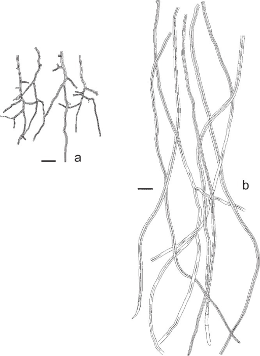 Microscopic structures of Datronia stereoides. a. Skeletal hyphae from trama; b. skeletal hyphae from context (all: Niemelä 3020). — Scale bars = 20 μm.