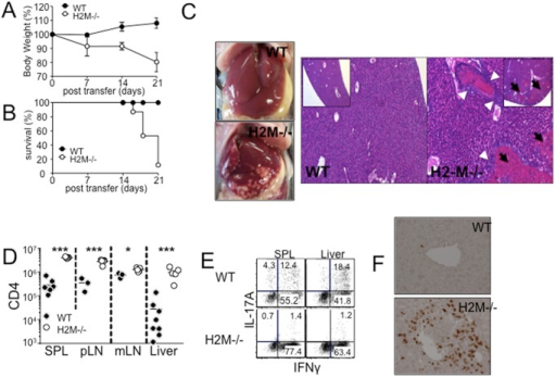 H2M−/− CD4 T cells induce severe necrotic inflammation in the liver.WT and H2M−/− naïve CD4 T cells were adoptively transferred into Rag−/− recipients. (A) Weight loss and (B) survival were monitored after CD4 T cell transfer. Data are the mean ± SD of 4–9 individually tested animals from 2–3 independent experiments. (C) Liver picture and H&E stain of liver, (D) absolute number of donor CD4 T cells in different tissue, and (E) intracellular cytokine expression of the donor cells from the indicated tissues were determined 7 days post transfer. (F) Immunohistochemistry analysis of the CD3+ cells in the liver. Each symbol represents individually tested animals from two independent experiments. *, p<0.05; ***, p<0.001.