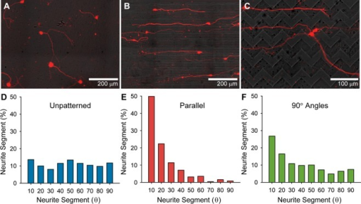 SGN neurite alignment on variations in topographiccues. (A–C) Immunofluorescent images of neurite growth fromdissociated SGNs on unpatterned (A), parallel (B), and 90° angle(C) substrates. (D–F) Distribution of SGN neurite segment anglesrelative to the horizontal plane on unpatterned (D), parallel (E),and 90° angle (F) substrates. Regenerative neurite growth orientsrandomly on unpatterned substrates as evidenced by a nearly equaldistribution of neurite segment angles relative to the horizontalplane. Neurites strongly align to unidirectional topographic cueswith 70% of the neurite segment angles at or below 20° from thepattern direction. Neurites on repeating 90° angle patterns donot closely track multidirectional cues as demonstrated by the lowincidence of 45° angle neurite segments. They do align somewhatto the horizontal plane, although with a broader distribution of anglesthan on parallel patterns. Dissociated cultures were stained withanti-NF200 antibodies. Micropatterned substrates have a channel amplitudeof 7 μm.