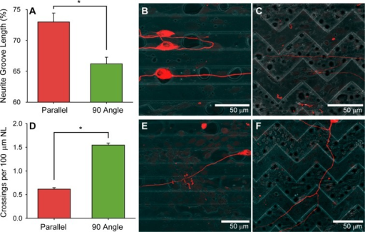SGN percent neurite length in depressedmicrofeatures and feature crossing per neurite length on uni- andmultidirectional topographic cues. (A) The majority of SGN neuritelength on both parallel and 90° angle patterns is located inthe grooves (*p < 0.05, Mann–Whitney RankSum test). (B,C) Immunofluorescent images of SGN neurite growth ingroove microfeatures. (D) SGN neurites crossed ridge-groove transitionssignificantly more on multidirectional patterns compared to unidirectionalsubstrates (*p < 0.05, Mann–Whitney RankSum test). (E,F) Immunofluorescent images of SGN neurites crossingridge-groove transitions on various micropatterns. Dissociated cultureswere stained with anti-NF200 antibodies. Micropatterned substrateshave a channel amplitude of 7 μm.
