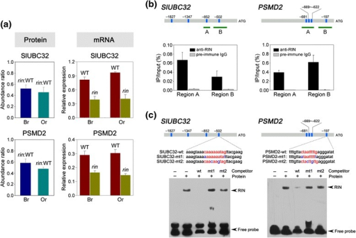 Genes involved in ubiquitin-proteasome pathway areidentified as direct RIN targets. (a) Expression analysis ofSlUBC32 and PSMD2 at protein and mRNA levels. The protein expression inwild-type (WT) and rin mutant wasassessed by quantitative proteome analysis at breaker (Br) and orange (Or)ripening stages. The mRNA expression was examined by quantitative RT-PCR.The gene transcript levels are normalized against the actin gene. Values are means ± SD of threeindependent experiments. (b) ChIP-qPCRassays show that RIN direct binds to the promoter regions of SlUBC32 and PSMD2. The promoter structures of the target genes arepresented. Blue boxes represent CArG box elements and numbers indicate theposition of these motifs relative to the translational start site. Greenfragments with upper-case letters represent the regions used forChIP-qPCR. Values are the percentage of DNA fragments thatco-immunoprecipitated with anti-RIN antibodies (black bars) ornon-specific antibodies (preimmune rabbit IgG; grey bars) relative to theinput DNAs. Error bars represent the SD of three independent experiments.(c) Gel mobility shift assays revealthe direct binding of RIN to CArG box elements in the promoter regions ofSlUBC32 and PSMD2. The probe sequences corresponding to the SlUBC32 and PSMD2 promoters are shown, with red letters representing theCArG box. The mutated bases in the probes are represented by blue letters.wt, probe with intact CArG box element; mt, probe with mutated CArG boxelement. As competitors, 1,000-fold excess amounts of unlabeled probeswere added to the binding reaction. The retarded bands and the free probesare indicated by arrowheads.