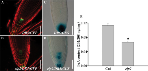 The elp2 mutant exhibits reduced auxin contents in roots. (A, B) The mutant shows a reduced level of DR5rev:GFP expression in the root than the WT. (C, D) The mutant shows a reduced level of DR5:GUS expression in the root than the WT. (E) IAA content measurement of roots on 14-day-old seedlings of col and elp2. The data represent mean values of three independent biological repeats with their associated SD (n=3) *, P<0.05. Bars, 50 µm (A–D). (This figure is available in colour at JXB online.)