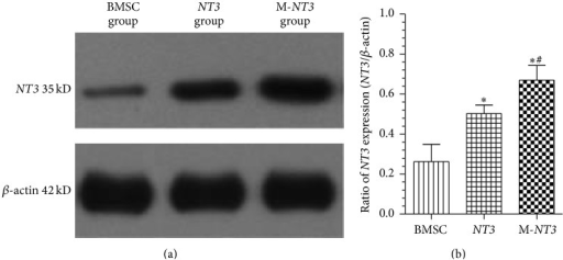 Western blot detection of NT3 protein expression in the injured spinal cords on day 35 after cell transplantation in each group (a). Ratio of the lane density of the NT3 protein to the lane density of the β-actin protein in each group (b). The data, which are presented as the means ± SD (n = 12), were analyzed using one-way ANOVA. ∗p < 0.05 versus the BMSC group, #p < 0.05 versus the NT3 group.