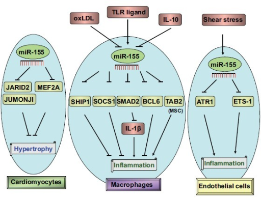 Modulation of inflammation by miR-155 in macrophages or endothelial cells. The expression of miR-155 is activated by TLR ligand, oxidized LDL (oxLDL)/interferon-γ (IFN-γ), or inhibited by lipopolysaccharide, oxidized LDL and interleukin-10. miR-155 inhibited inflammation by inhibition of SHIP1, SOCS1, SMAD2 or Table 2 (mesenchymal cells) or activated inflammation by targeting the Bcl-6 in macrophages. miR-155, induced by shear stress, inhibited inflammation in endothelial cells via down-regulation of ATR1 and ETS-1. Arrows (→) represent upregulation. Capped lines (┤) indicate inhibition. Abbreviation: angiotensin II type-1 receptor (AT1R), B-cell leukemia/lymphoma 6 (Bcl6), E26 transformation-specific sequence-1 (ETS-1), interferon-γ (IFN-γ), interleukin-10 (IL-10), inositol polyphosphate-5-phosphatase (SHIP1), lipopolysaccharide (LPS), MAD homolog 2 (SMAD2), oxidized LDL (oxLDL), suppressor of cytokine signaling 1 (SOCS1), TGF-β activated kinase 1/MAP3K7 binding protein 2 (Table 2), Toll-like receptor (TLR) ligands.