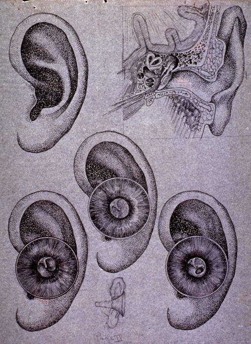 <p>Exterior and interior views of the ear.</p>