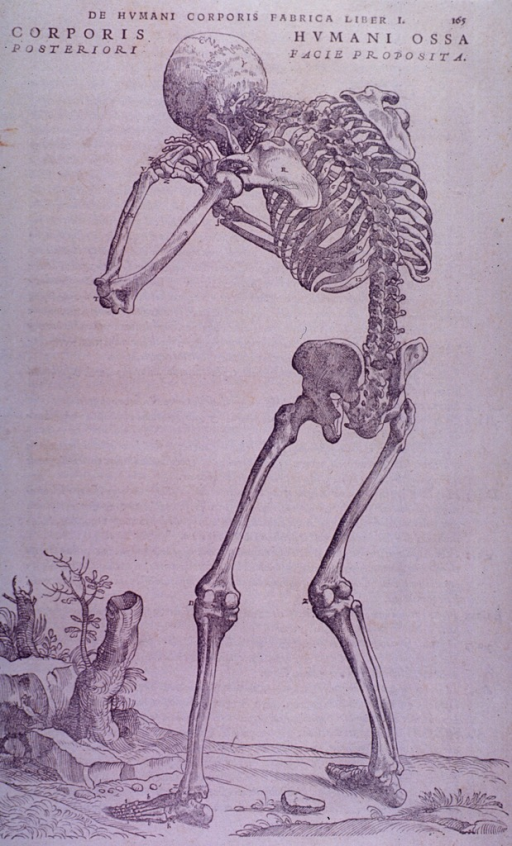 <p>Posterior view of a skeleton.</p>