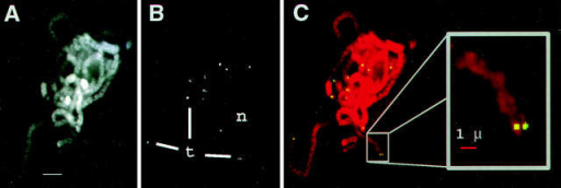Specificity of oligonucleotide telomere FISH. A partially ruptured and flattened pachytene nucleus following FISH with telomere oligonucleotide probe (see Materials and Methods). Images show the relationship of chromosomes (A, DAPI image) and telomeres signals (B, FITC image), by two-colored overlay (C) with inset enlargement. The nucleolus (n) and some telomeres (t) are indicated. Bars: (A) 5 μm; (inset) 1 μm.