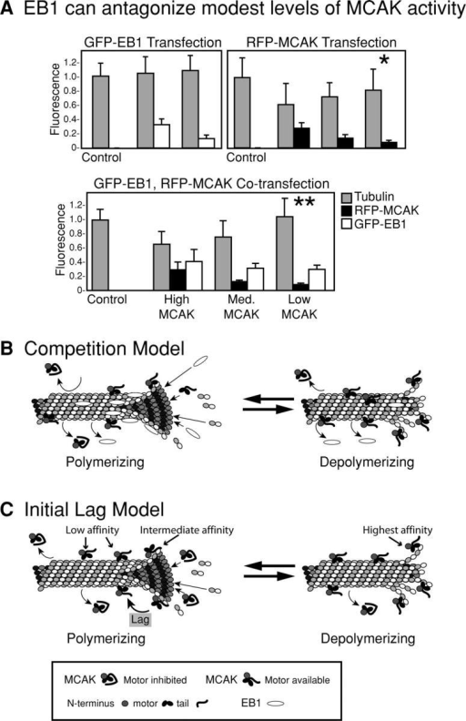 Models to explain the presence of MCAK on polymerizing MT tips. (A) EB1 is capable of antagonizing modest levels of MCAK's depolymerizing activity. Cultured cells were transfected with GFP-EB1, RFP-MCAK, or both. Cells expressing low levels of MCAK have a significantly reduced amount of MT polymer relative to control cells (*, T = 0. 0042, P = 0.05). In contrast, there is no significant difference between control levels of MT polymer and low MCAK+EB1 (**, T = 0.4345, P = 0.05). Thus, at low levels of MCAK expression, overexpressed EB1 is capable of restoring bulk MT polymer to control levels. (B) Competition model: EB1 and MCAK compete for high affinity binding sites at the end of the MT. EB1 prevents MCAK from achieving a quorum of occupied protofilaments. (C) The NH2 and COOH terminus interact with MT ends, relieving the MCAK motor domain from inhibition by the COOH terminus and putting it in a state in which the motor becomes receptive to lattice interactions.