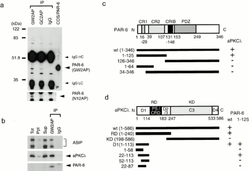Identification of endogenous PAR-6 and its association with aPKCλ and ASIP in fully polarized epithelial cells. (a) Identification of endogenous PAR-6 protein in MDCK II cells. Semi-confluent MDCK cells were subjected to immunoprecipitation with 1 μg of affinity-purified anti–PAR-6 rabbit polyclonal antibodies (GW2AP, GC2AP) or control normal rabbit IgG. The resultant immunoprecipitates were subjected to Western blot analysis using the antibodies indicated in parentheses (right). GW2AP and GC2AP specifically immunoprecipitate a 43-kD protein comigrating with PAR-6 expressed in COS cells, which was recognized by N12AP as well as GW2AP. (b) Ternary complex formation of PAR-6, aPKCλ, and ASIP/PAR-3 in vivo. Anti–PAR-6 (GW2AP) immunoprecipitate (IP), prepared as in a, was analyzed using anti–aPKCλ monoclonal or anti–ASIP polyclonal antibody. PAR-6 immunoprecipitates specifically contain endogenous aPKCλ, full-length ASIP, and its splicing variant (bottom band). (c and d) Summary of the yeast two-hybrid assays to analyze the PAR-6–aPKCλ interaction. The interaction was examined by growth on culture plates lacking histidine. The NH2-terminal region including CR1 and 2 of PAR-6 is sufficient for the interaction with aPKCλ (c), while NH2-terminal residues 22–113 of aPKCλ are sufficient for the interaction with PAR-6 (d).