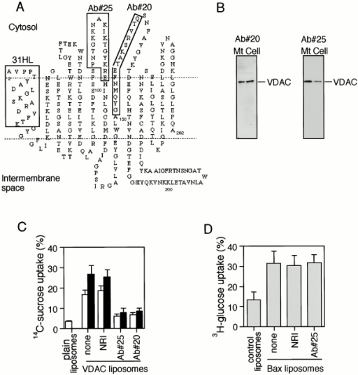 Inhibition of VDAC activity by anti-VDAC antibodies. (A) Putative model of human VDAC1 topology. The epitopes of the three anti-VDAC antibodies (Ab#20, Ab#25, and 31HL) are shown by boxes. (B) Specificity of Ab#20 and Ab#25. Rat liver mitochondria (Mt) lysate (15 μg) and HeLa cell lysate (10 μg) were subjected to Western blotting using Ab#20 and Ab#25. (C) Inhibition of both VDAC activity and Bax-induced enhancement of VDAC activity by Ab#20 and Ab#25. 20 μl of plain liposomes or VDAC liposomes was incubated with 0.2 μg/μl of the indicated antibodies for 3 min, and then were incubated with 5 μl of [14C]sucrose (97%; 200 μCi/ml) in the presence (black bar) or absence (white bar) of rBax (0.2 μg/μl) at 25°C for the 6 min. The [14C]sucrose incorporated into the liposomes was measured as described in Materials and Methods. Data are shown as the mean ± SD for three independent experiments. (D) Lack of influence of Ab#25 on Bax channel activity. Irrelevant control protein liposomes and Bax liposomes were incubated with 0.2 μg/μl of Ab#25 or NRI for 5 min, and then incubated with 5 μl of [3H]glucose (97%; 20 Ci/mmol) at 25°C for 5 min. The [3H]glucose incorporated into the liposomes was measured as described in Materials and Methods. Data are shown as the mean ± SD for three independent experiments.