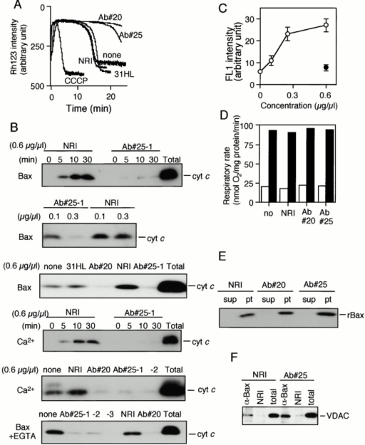 "Inhibition of Bax-induced Δψ loss and cytochrome c release in isolated mitochondria by anti-VDAC antibodies. (A) Inhibition of Bax-induced Δψ loss by Ab#20 and Ab#25. Mitochondria (1 mg/ml) were preincubated with or without 0.6 μg/μl of the indicated antibodies (Ab#20, Ab#25, 31HL, or NRI) for 5 min, after which rBax (0.2 μg/μl) was added. Then Δψ was measured from the rhodamine 123 (Rh123) uptake over 25 min. When Δψ dropped, rhodamine 123 was released, resulting in an increase of rhodamine 123 intensity. Complete loss of Δψ was demonstrated by incubation of the mitochondria with 1 mM carbonylcyanide m-chlorophenylhydrazone (CCCP, protonophore). Data are representative of three independent experiments. (B) Inhibition of Bax-induced cytochrome c release by Ab#20 and Ab#25. Mitochondria (1 mg/ml) were preincubated with or without the indicated concentrations of antibodies (Ab#20, Ab#25-1, Ab#25-2, 31HL, or NRI) for 5 min, after which rBax (0.2 μg/μl) or Ca2+ (50 μM) was added (top 5 panels). Mitochondria preincubated with antibodies were also incubated with rBax in the presence of 0.2 mM EGTA (bottom panel). In the presence of EGTA, a higher concentration of rBax (1 μg/μl) was used to induce cytochrome c release comparable to that without EGTA. The extent of cytochrome c release was measured at 10 min (second, third, fifth, and bottom panels) or at the indicated times (top and fourth panels) by Western blot analysis of the supernatants. ""Total"" represents the total amount of cytochrome c in the same amount of mitochondria. Data are representative of two or three independent experiments. (C) Immunostaining of mitochondria with Ab#25. Mitochondria (1 μg/μl) were incubated with Ab#25 (open circles) or NRI (filled circle) at the indicated concentrations, and then stained with anti–rabbit IgG-Alexa488, after which the fluorescence was measured by flow cytometry as described in Materials and Methods. Data are shown as the mean ± SD for three independent experiments. (D) Lack of effect of Ab#20 and Ab#25 on mitochondrial respiration. Mitochondria (1 μg/μl) were incubated with 0.6 μg/μl of the indicated antibodies for 5 min, and then respiration was measured in the presence of 5 mM succinate (state IV; white bars) or succinate plus 0.3 mM ADP (state III; black bars). Data are representative of two independent experiments. (E) Lack of effect of Ab#20 and Ab#25 on mitochondrial association of Bax. Mitochondria were treated as described in A. At 10 min after addition of rBax, the mitochondria were spun, and the supernatants (sup) and pellets (pt) were subjected to Western blot analysis for Bax detection. (F) Lack of effect of Ab#25 on Bax–VDAC interaction. Mitochondria were treated as described in A. At 10 min after addition of rBax, mitochondria were lysed and immunoprecipitated with anti-Bax antibody (α-Bax) or NRI. Immune complexes were analyzed by Western blotting. ""Total"" represents 1/10 the amount of mitochondria used for the experiment."