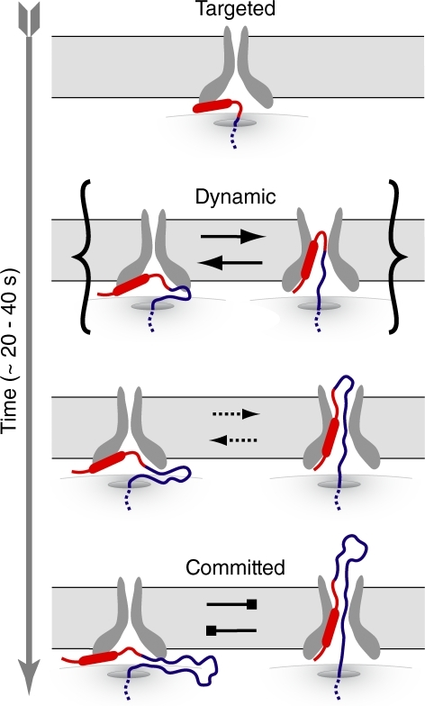 A dynamic signal–Sec61 interaction. After targeting to the Sec61 complex (top), the signal sequence is proposed to interact weakly and dynamically with the putative signal binding site on Sec61. The looped (right) and nonlooped (left) configurations are more interconvertible at shorter nascent chain lengths than at longer lengths.