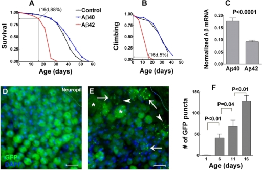 Aβ1–40 and Aβ1–42 have differential neurotoxicity.(A–B) Aβ1–42 but not Aβ1–40 expression decreases fly lifespan (A) and climbing ability (B) (lifespan assay, N = 953, 633 and 965 for three parallel cohorts of control, Aβ1–40 and Aβ1–42 flies respectively; data are the mean±SEM; climbing assay, N = 160 for all three cohorts). Note that survival rates correlate well with climbing ability in control and Aβ1–40 flies. However, 88% of Aβ1–42 flies at 16 days survive with only 5% maintaining active climbing ability. Aβ1–42 flies thus have accelerated neurological deficits that precede animal death. (C) Levels of Aβ transcripts in fly heads are significantly higher for Aβ1–40 relative to Aβ1–42 (data are the mean+SEM, N = 3 for each group, two-tailed P value by student's t test). (D–E) Cytosolic GFP fluorescence exhibits an even distribution in Aβ1–40 flies (16-day-old adult, D) in contrast to an extensive accumulation of punctate structures in an age- and region-matched Aβ1–42 sample (E). GFP fluorescence in the Aβ1–42 sample is decreased in cytosol (arrowheads) but especially bright in puncta (arrows). Some neuronal somas appear abnormally large (stars). Cellular boundaries also appear to be indistinct (arrowheads). Note that cytosolic GFP expression is independent of the expression of Aβ1–40 or Aβ1–42 thus the fluorescent puncta are not likely to be the structure of Aβ1–42 aggregation. (F) An age-dependent increase of fluorescent puncta in Aβ1–42-targeted neurons (data are mean+SEM, two-tailed P values by student's t test, n = 9 for each group). Scale bars = 5 µm.
