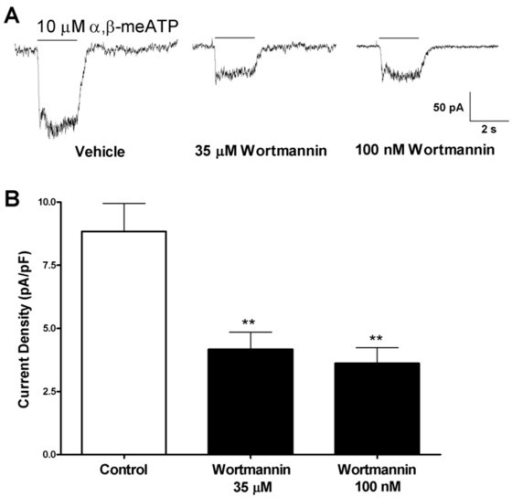 Sensitivity of native P2X2/3 receptor activity to PIP3 depletion in DRG neurons. A) Sample traces demonstrating the effects of 35 μM (middle) and 100 nM wortmannin incubation (2 h) (right) on P2X2/3 response to 10 μM α,β-meATP in DRG (control on left). B) Pooled data of P2X2/3 responses to 10 μM α,β-meATP under control condition, after 2 h incubation with 35 μM or 100 nM wortmannin (N = 5–6). (**, P < 0.01)