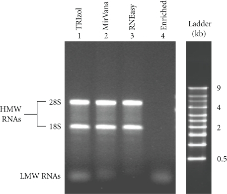 Gel electrophoresis (agarose 1% stained with ethidium bromide) of RNA samples (from COS-1) extracted with TRIzol reagent (lane 1), MirVana kit (lane 2), RNEasy kit (lane 3), and LMW RNA fraction enriched with MirVana kit (lane 4).
