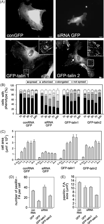 GFP-talin1 or talin2 rescues cell spreading and FA formation in talin1-depleted HUVEC. Cells were transfected with a talin1 siRNA or conRNA plus constructs encoding either GFP alone, mouse talin1-GFP or human talin2-GFP. Cells were replated on glass coverslips 72 h after transfection. (A) Epifluorescence images showing GFP localisation in cells 24 h after replating. (B, C) Time course of changes in cell morphology (B) and cell area (C). (D, E) FA number (D) and size (E) in different cell populations quantified using ImageJ. All results are expressed as mean ± s.e.m. Scale bars: 10 μm.