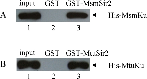 Use of GST pull-down to confirm that Sir2 interacts with Ku.(A) GST pull-down assay. Glutathione sepharose beads were incubated with 2 µg of GST-MsmSir2 (lane 3) or GST (lane 2), followed by incubation with 0.2 µg of His-MsmKu. The bound proteins were probed with an anti-His-tag antibody. Lane 1 contains 20 ng (10% of the total input) of His-MsmKu. (B) GST pull-down assay was also conducted on Sir2 and Ku from M. tuberculosis. Glutathione sepharose beads bound with GST-MtuSir2 (lane 3) or GST (lane 2) were incubated with His-MtuKu. The bound proteins separated by SDS-PAGE were analyzed by Western blotting using an anti-His-tag antibody to detect His-tagged MtuKu. Lane 1 contains 20 ng (10% of the total input) of His-MtuKu.