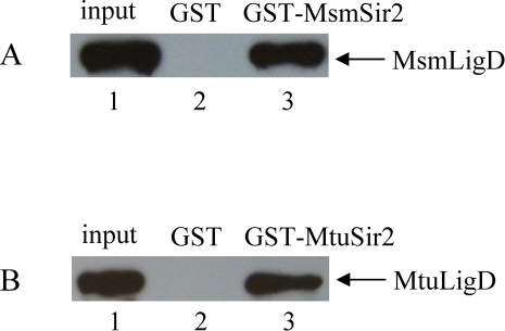 In vitro interactions between Sir2 and LigD detected by the GST pull-down assay.(A–B) GST pull-down was used to identify the interaction between Sir2 and LigD in M. smegmatis and M. tuberculosis. (A) Glutathione sepharose beads were incubated with 2 µg of GST-MsmSir2 (lane 3) or GST (lane 2), followed by incubation with 0.2 µg of His-MsmLigD. The bound proteins were probed with an anti-His-tag antibody. Lane 1 contains 20 ng (10% of the total input) of His-MsmLigD. (B) Glutathione sepharose beads were incubated with 2 µg of GST-MtuSir2 (lane 3) or GST (lane 2), followed by incubation with 0.2 µg of His-MtuLigD. The bound proteins were probed with an anti-His-tag antibody. Lane 1 contains 20 ng (10% of the total input) of His-MtuLigD.