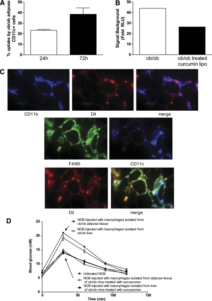 In vivo delivery of curcusomes inhibits adipose tissue inflammatory DC nuclear RelA and promotes insulin sensitivity. A: Ob/ob mice were injected intraperitoneally with DiI-curcusomes, and gradient-purified cells were harvested at 24 and 72 h and stained for MHC class II and CD11c. Shown are the percentages of CD11c+ cells that are DiI+. Data are mean ± SEM of two separate experiments. B: Nuclear extracts from CD11c+ ATM isolated from ob/ob mice injected with or without curcusomes for 24 h were analyzed for DNA binding of RelA by chemiluminescence. Shown is the mean of duplicates from two separate experiments. C: Ob/ob mice were injected intraperitoneally with DiI-curcusomes for 72 h and then adipose tissue was harvested, frozen in optimal cutting temperature media, sectioned, and stained with CD11b (blue) or F4/80 (green) and CD11c (blue) antibodies. DiI staining is indicated in red; images analyzed by immunofluorescence microscopy. Original magnification ×25. D: GTT from NOB mice injected intravenously with 1 × 106 F4/80+ DCs from adipose tissue or liver tissue from ob/ob mice treated with or empty liposomes or curcusomes for 24 h. (A high-quality digital representation of this figure is available in the online issue.)
