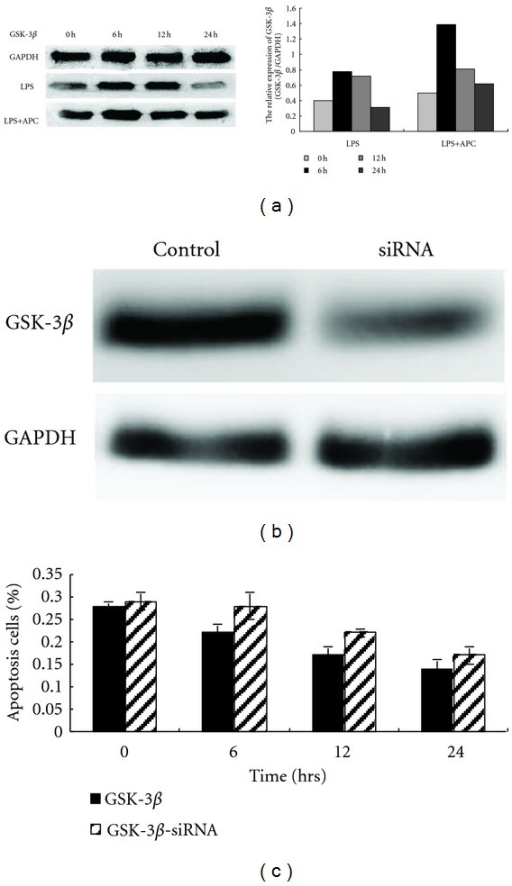Upregulation of GSK-3β expression following APC treatment and decreased antiapoptotic activity following GSK-3β-siRNA transfection of HUVECs. HUVECs exposed to 10 ng/mL LPS for 24 h, were treated with 150 nM APC for 0, 6, 12, and 24 h. Upregulated GSK-3β expression was detected, peaking at 6 h after APC treatment (a). Transfection of HUVECs with GSK-3β-siRNA decreased the abundance of GSK-3β protein significantly (b). Compared with normal HUVECs treated with 150 nM APC, a significant increase of the percentage of apoptosis cells was found in HUVECs pretreated with GSK-3β-siRNA (GSK-3β versus GSK-3β-siRNA, P < 0.05), indicating that the antiapoptotic activity of APC was inhibited by GSK-3β-siRNA (c).