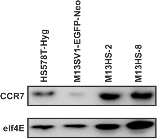 CCR7 expression of parental cell lines and hybrid cell lines.CCR7 expression was detected by Western Blot analysis, whereby elf4E expression was used as an internal control. Shown are representative Western Blot data of n = 3 independent experiments.