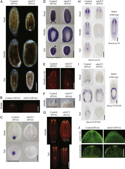 mbd2/3(RNAi) Leads to the disruption of various differentiated tissues during regeneration. (A) mbd2/3(RNAi) effect at 7 days of regeneration showing defects in pharynx (white asterisk) and eye (white arrows) formation. (B)–(F) mbd2/3(RNAi) affects the formation of the eyes (B), pharynx (C), anterior and posterior gut branches (black arrow heads) (D) and (E), brain ganglia (F) and (G); yellow arrows in (G), cells in and around the CNS (H) and secretory gland cells around the pharynx (I) during regeneration. However, the VNCs (G), blue arrows), cilia and secretory cell types are formed during regeneration. White dashed lines represent the boundary between the old and new tissue. Immunostaining was performed in (B), (E), (G) and (J), in situ hybridisation in (C), (D), (F), (H) and (I). 3C11: anti-SYNORF-1.