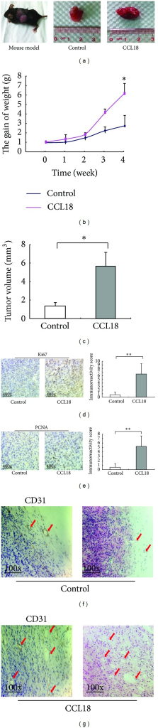 CCL18 treatment promotes tumor growth, expression pattern, and localization of Ki67, PCNA in RM-1 xenograft. Treat the mice with CCL18 for 4 weeks. (a) Tumor size. (b) The gain of weight. (g) Weight of each mouse was measured once a week (P = 0.04). (c) Tumor volumes were measured at 28th day and the results were used to plot the graphs (P = 0.032). In CCL18 treatment group, the expression levels of Ki67 ((d), P < 0.001) and PCNA ((e), P < 0.001) proteins were significantly higher than those in the control group. (f) CD31 staining and HE staining of control group. (g) CD31 staining and HE staining of CCL18 treatment group.