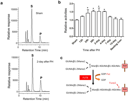 "The activities of Fut8 were increased after 70% partial hepatectomy (PH).The liver tissues were harvested for the determination of enzyme activities at indicated times as described in ""Methods"". (a) A representative elution pattern on HPLC for Fut8 activities in Fut8+/+ mouse with (left panel) or without (right panel) PH. S: substrate; P: product. (b) The quantitative assay for enzyme activities in Fut8+/+ mice after PH. *, P < 0.05, compared to the group without PH (sham), which was set as 1, n = 3. (c) Reaction for synthesis of α1,6-fucose."