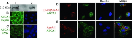 ABCA1 expression and co-localization with [1–93]ApoA-I and ApoA-I. (A) Western blot analysis with anti-ABCA1 antibodies of cell lysates prepared from HepG2 cells (25 μg total proteins, lane 1) and from H9c2 cells (50 μg, lane 2). Immunostaining for ABCA1 (green) of HepG2 cells (B) and H9c2 cells (C). Nuclei were stained with Hoechst (blue). (D) and (E), co-localization of [1–93]ApoA-I and ApoA-I with ABCA1. H9c2 cells were incubated for 2 hrs either with 3 μM rhodamine-[1–93]ApoA-I (D), or with 1 μM rhodamine-ApoA-I (E), and immunostained for ABCA1 (green). Nuclei were stained with Hoechst (blue). Cells were observed by confocal microscopy.