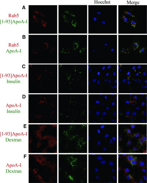 Analysis of the route of [1–93]ApoA-I and ApoA-I endocytosis in H9c2 cells by confocal microscopy. (A) and (B), clathrin-mediated endocytosis. H9c2 cells were transiently transfected with an expression vector for RFP-Rab5. After 24 hrs, cells were incubated 6 hrs at 37°C either with 3 μM FITC-[1–93]ApoA-I (A) or with 1 μM FITC-ApoA-I (B). (C) and (D), lipid rafts-mediated internalization. Cells were incubated 4 hrs at 37°C either with 3 μM rhodamine-[1–93]ApoA-I (C), or with 1 μM rhodamine-ApoA-I (D), in the presence of FITC insulin (0.1 mg/ml). (E) and (F), macropinocytosis. Cells were incubated 4 hrs at 37°C either with 3 μM rhodamine-[1–93]ApoA-I (E), or with 1 μM rhodamine-ApoA-I (F), in the presence of FITC dextran (5 mg/ml). Nuclei were stained with Hoechst (blue).
