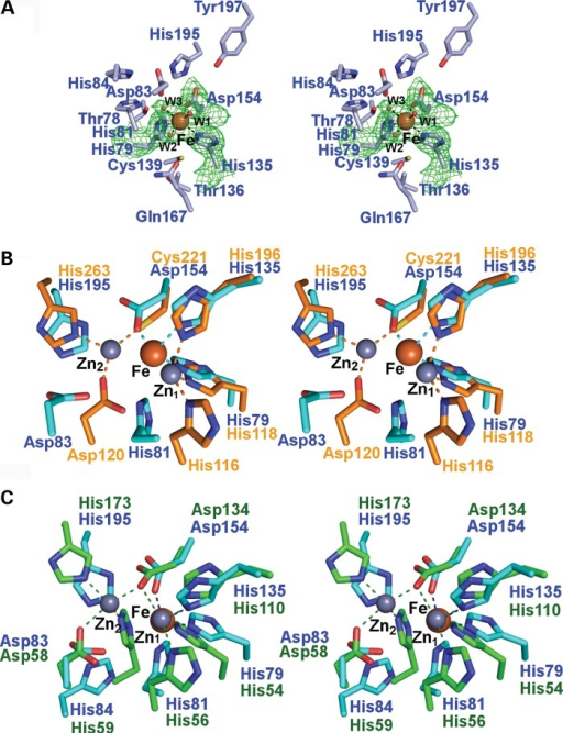 hETHE1 active site and comparison of the hETHE1 crystal structure with other MBL-fold enzymes. (A) Wall-eyed stereoview of the iron binding and active site residues of hETHE1 with representative electron density (3.0 σ mFo-DFc OMIT; green mesh) for side chains of His79 (Nϵ2 to Fe: 2.3 Å), His135 (Nϵ2 to Fe: 2.22 Å), Asp 154 (Oδ2 to Fe: 2.05 Å) and the three water molecules (red spheres) which coordinate (black dashed lines) to the iron (orange sphere). (B) Wall-eyed stereoview of superimposed active site residues from hETHE1 (cyan) and BcII from Bacillus cereus (PDB ID: 1BVT) (orange). The zinc and iron ions are in grey and dark red, respectively. The zinc ions in the Zn1 and Zn2 sites are labelled (17). There is relatively strong conservation in iron-binding residues by ETHE1 and at the Zn1 site of glyoxalase II; although the Zn2 binding site residues are conserved in hETHE1, they do not bind the iron ion. (C) Wall-eyed stereoview of the superimposed active site residues from hETHE1 (cyan) and human glyoxalase II (PDB ID: 1QH3/5) (green). Note. There are more differences between hETHE1 and BcII than between hETHE1 and glyoxalase II.