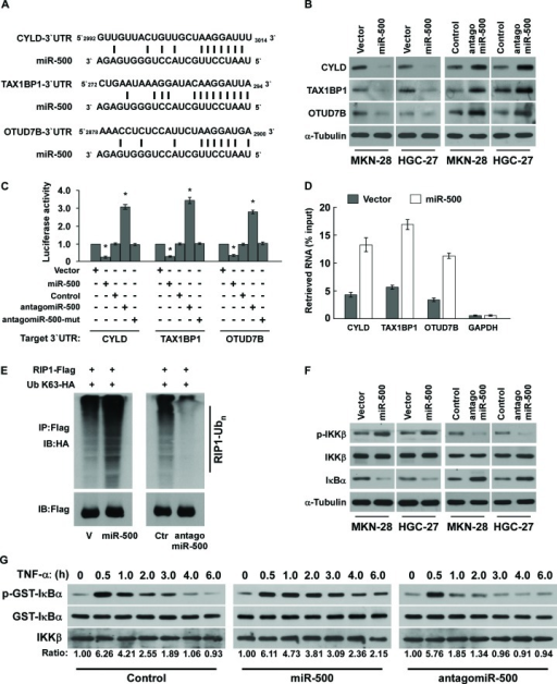 MiR-500 directly suppresses multiple NF-ĸB negative regulatory genes(A) Predicted miR-500 target sequence in 3′ UTRs of CYLD, TAX1BP1, and OTUD7B. (B) Western blots of CYLD, TAX1BP1, and OTUD7B expression. α-Tubulin served as the loading control. (C) Luciferase assay of cells transfected with pGL3-CYLD-3′UTR, pGL3-TAX1BP1-3′UTR, or pGL3-OTUD7B-3′UTR reporter with miR-500 mimic, antagomiR-500, or miR-500-mut mimic. (D) MiRNP IP assay showing the association between miR-500 and CYLD, TAX1BP1, and OTUD7B transcripts. GAPDH served as the negative control. (E) Western blots of K63-linked polyubiquitin levels of RIP1 in miR-500–overexpressing or miR-500–silenced MKN-28 cells treated with TNF-α (10 ng/mL). V, vector; Ctr, control. (F) Western blot analysis of p-IKKβ, total IKKβ, and IκBα expression in cells treated with 10 ng/ml TNF-α. (G)In vitro IKK kinase assay of vector- or miR-500–overexpressing cells, or miR-500–silenced cells treated with 10 ng/mL TNF-α. IKKβ was subjected to IP, and kinase activity was determined by phosphorylation of a recombinant GST-IκBα substrate using a phospho-specific IκαB antibody. The equal IP of IKKβ was shown. Each bar represents the mean ± SD of three independent experiments. *p < 0.05.