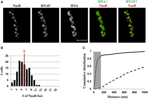 Nascent rRNA-binding protein NusB forms foci and colocalizes with transcription foci in fast-growing cells. (A) Images of NusB, RNAP, DNA (nucleoid), overlay of NusB (red) and DNA (green), and overlay of RNAP (green) and NusB (red) from a representative fast-growing E. coli cell, as described in the legend to Figure 7. NusB foci are at the periphery of the nucleoid (separate red and green colors on the RNAP/NusB overlay) and the NusB signals perfectly colocalize with RNAP signals (overall yellow color on the RNAP/NusB overlay). (B) The distribution of apparent NusB-mCherry foci in fast-growing cells. The red line in the histogram indicates the median number of NusB foci in the population of cells. Note that the median number of NusB foci is close to that of RNAP foci in fast-growing cells. (C) Cumulative distribution of the distances between NusB foci and their closest RNAP foci in the population of cells. (—-) NusB-mCherry RNAP-Venus, and (- - -) NusB-mCherry RNAP-Venus random. The gray rectangle represents the colocalization area (≤140 nm), as the theoretical SIM microscope resolution for the mCherry is 140 nm. 87.1% of the NusB foci are within 140 nm of the closest transcription foci. Adapted from Cagliero et al. (2014).